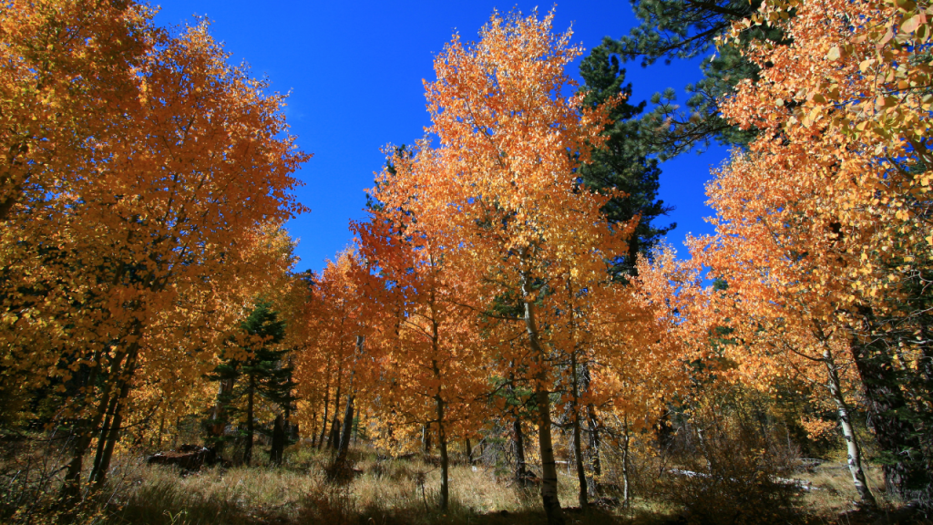 Aspen Trees turning beautiful colors in Tahoe